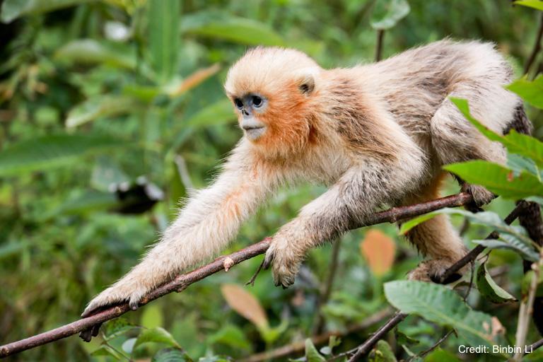 1117-golden-snub-nosed-monkey